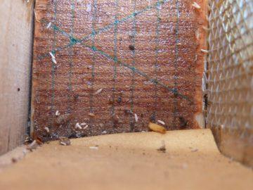 Klebefalle mit Wachsmottenlarve